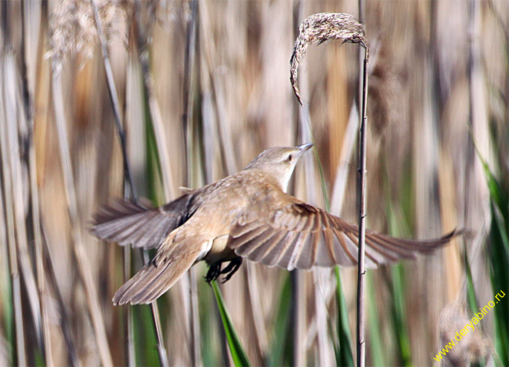 Дроздовидная камышевка Acrocephalus arundinaceus Great Reed Warbler