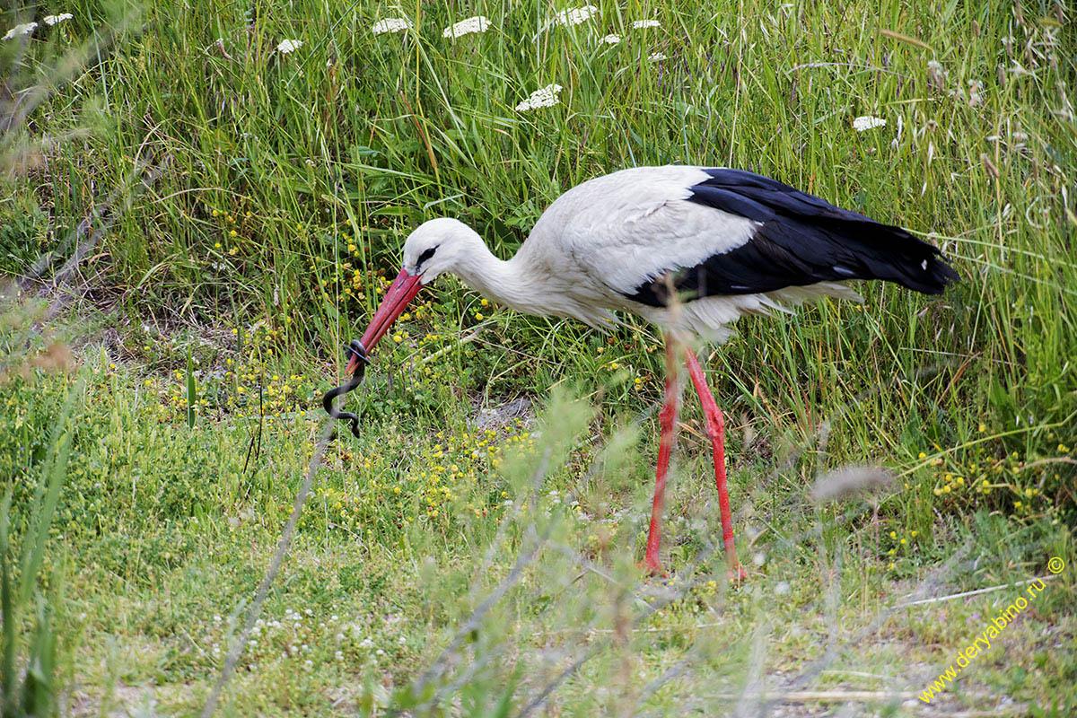 Белый Аист Ciconia ciconia European White Stork