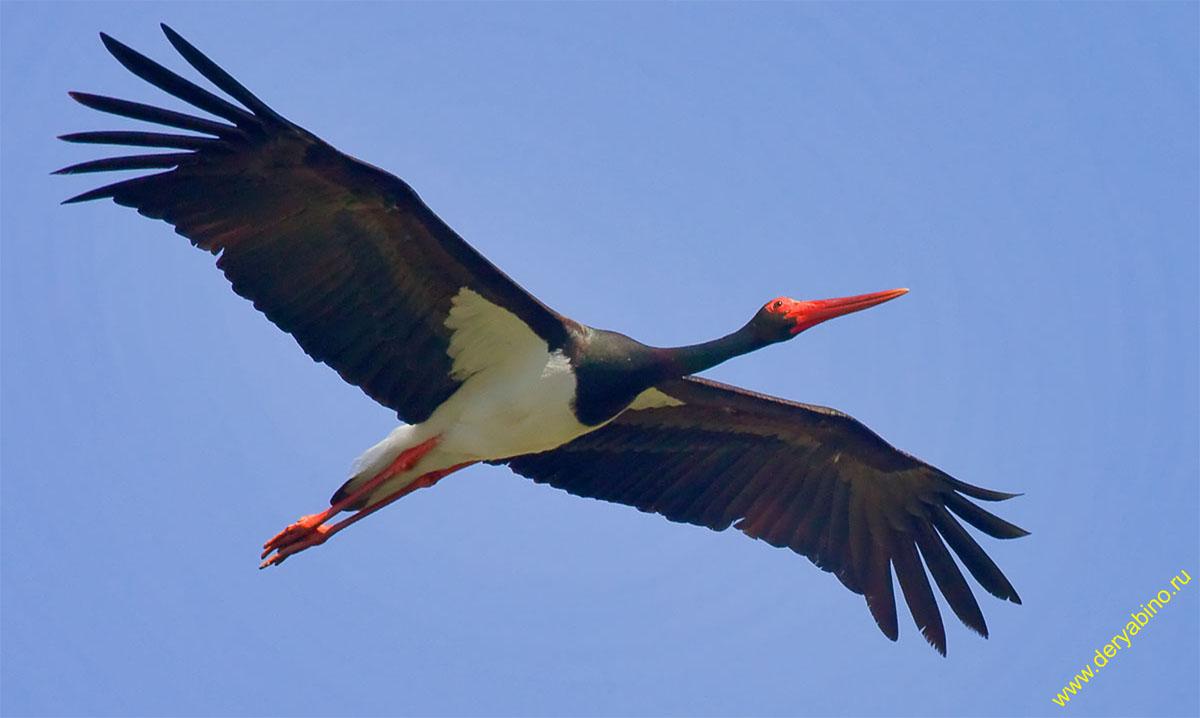 Чёрный аист Ciconia nigra Black stork