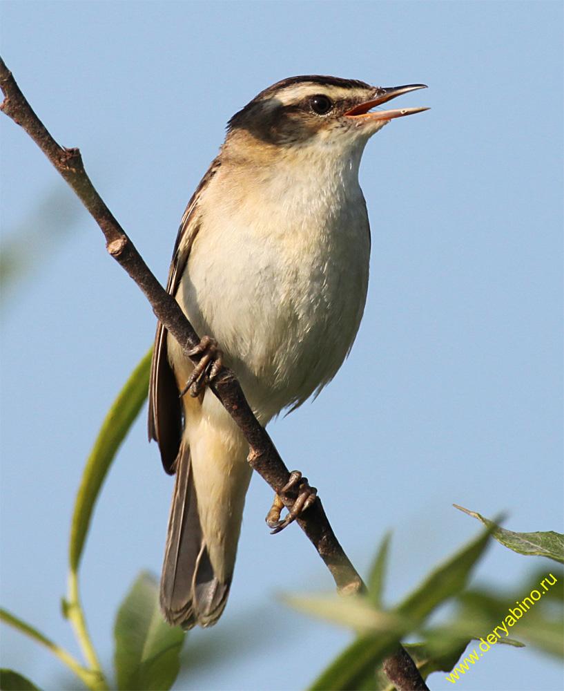 Камышевка-барсучок Acrocephalus schoenobaenus Sedge Warbler