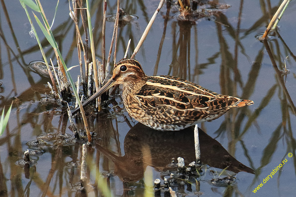 Бекас Gallinago gallinago Common Snipe