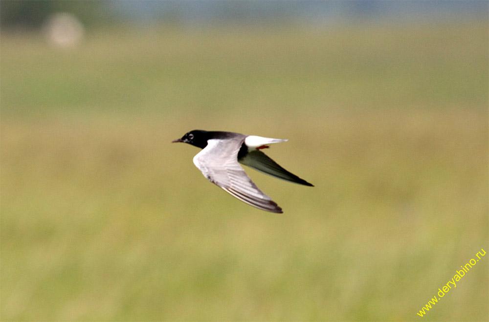 Белокрылая крачка Chlidonias leucopterus White-winged tern