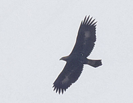 Беркут Aquila chrysaetos Golden eagle