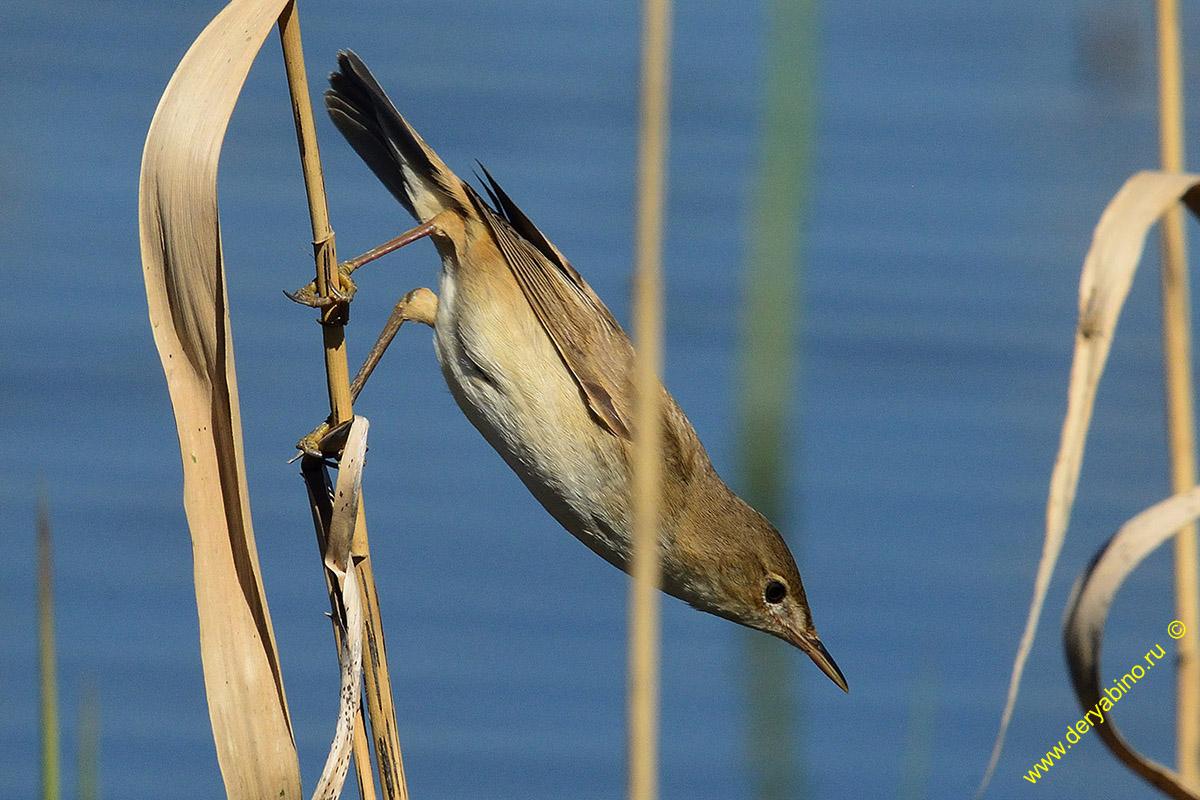 Болотная камышевка Acrocephalus palustris Marsh Warbler