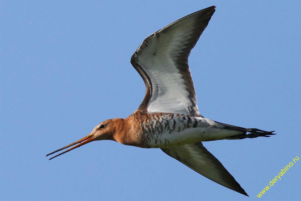 Большой веретенник Limosa limosa Black-tailed Godwit