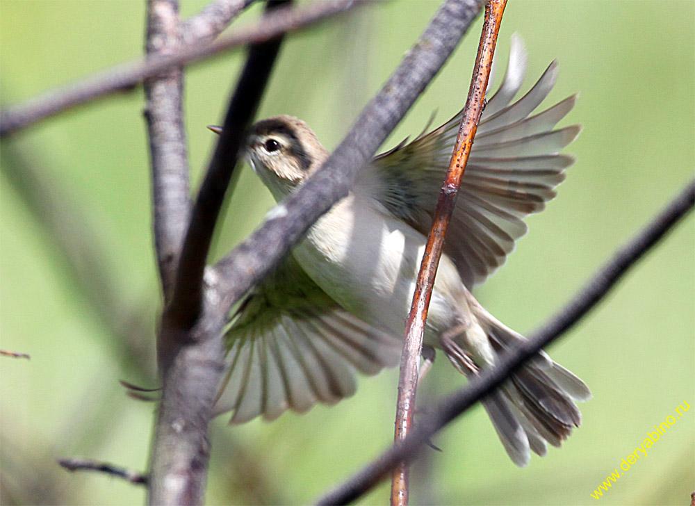 Бормотушка Hippolais calligata Booted Warbler