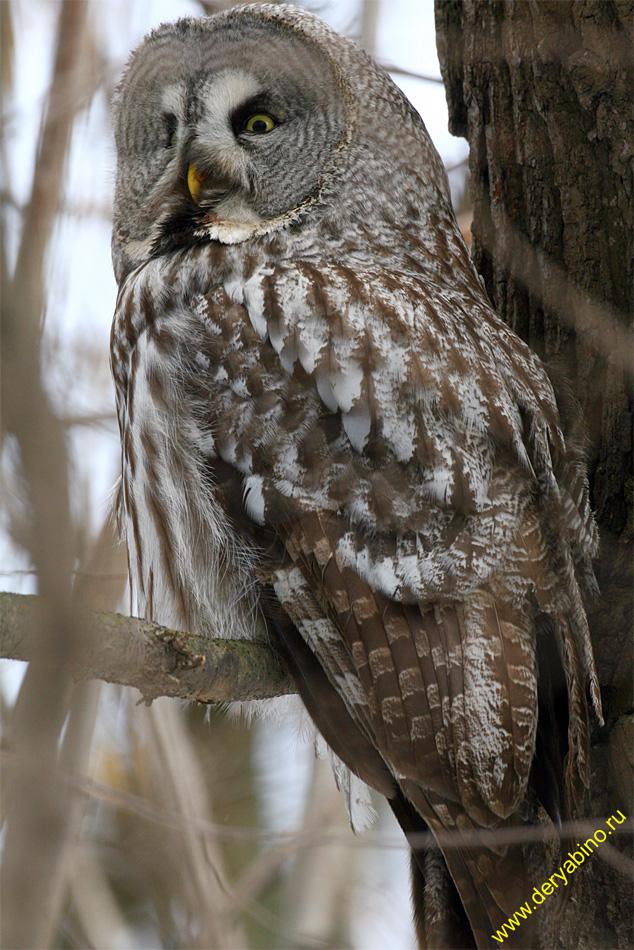 Бородатая неясыть Strix nebulosa Great Grey Owl