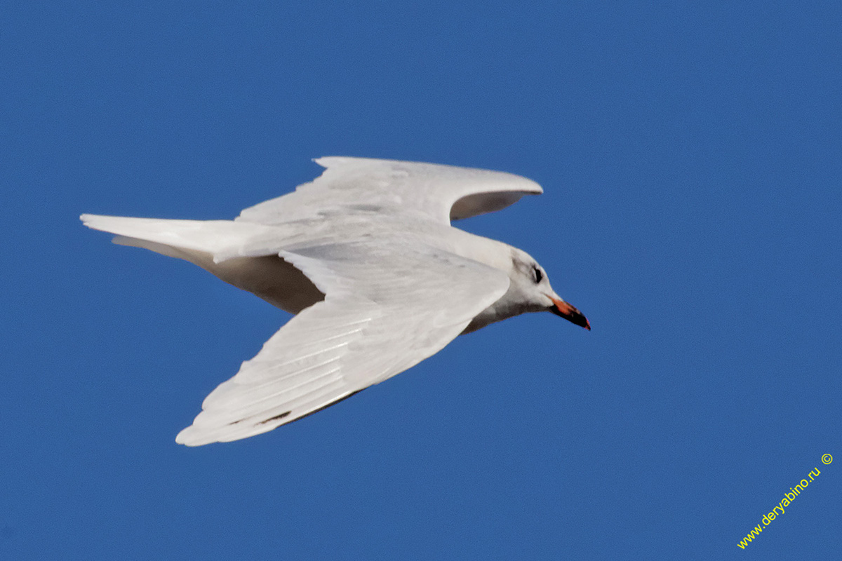 Черноголовая чайка Larus melanocephalus Mediterranean gull