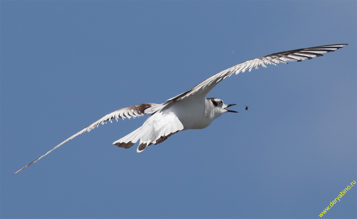 Малая чайка Larus minutus Little Gull