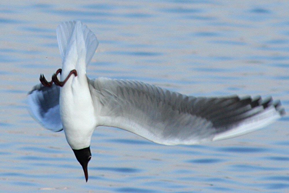 Озерная чайка Larus ridibundus Black-headed Gull