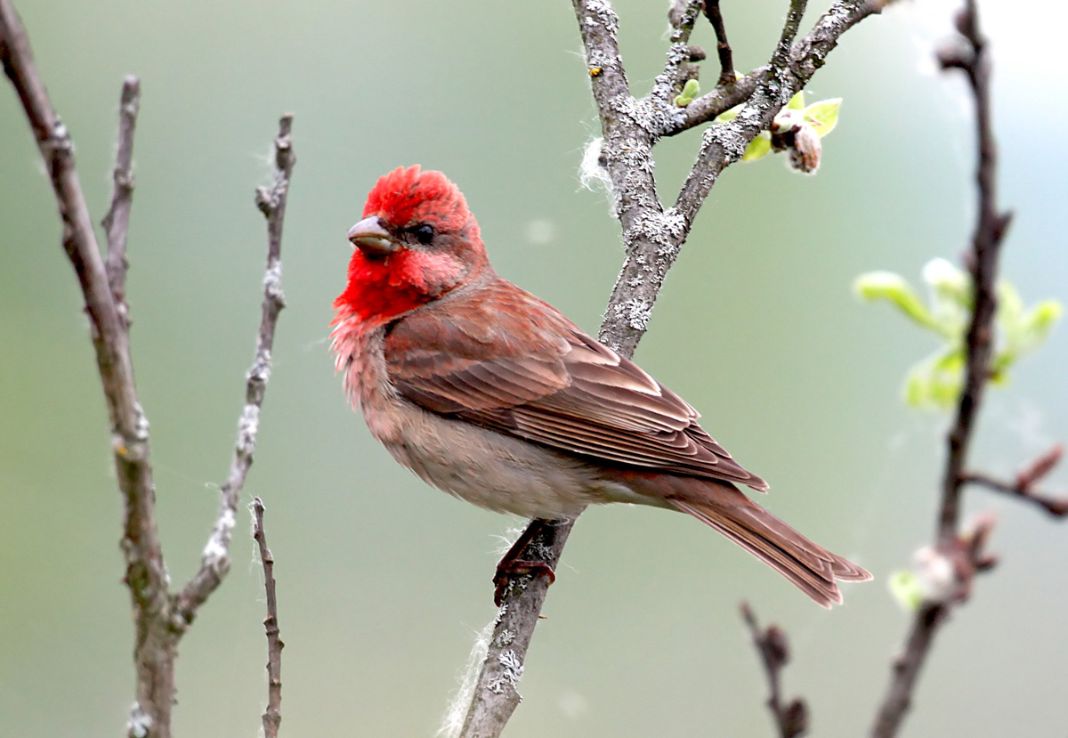 Чечевица Carpodacus erythrinus Common Rosefinch