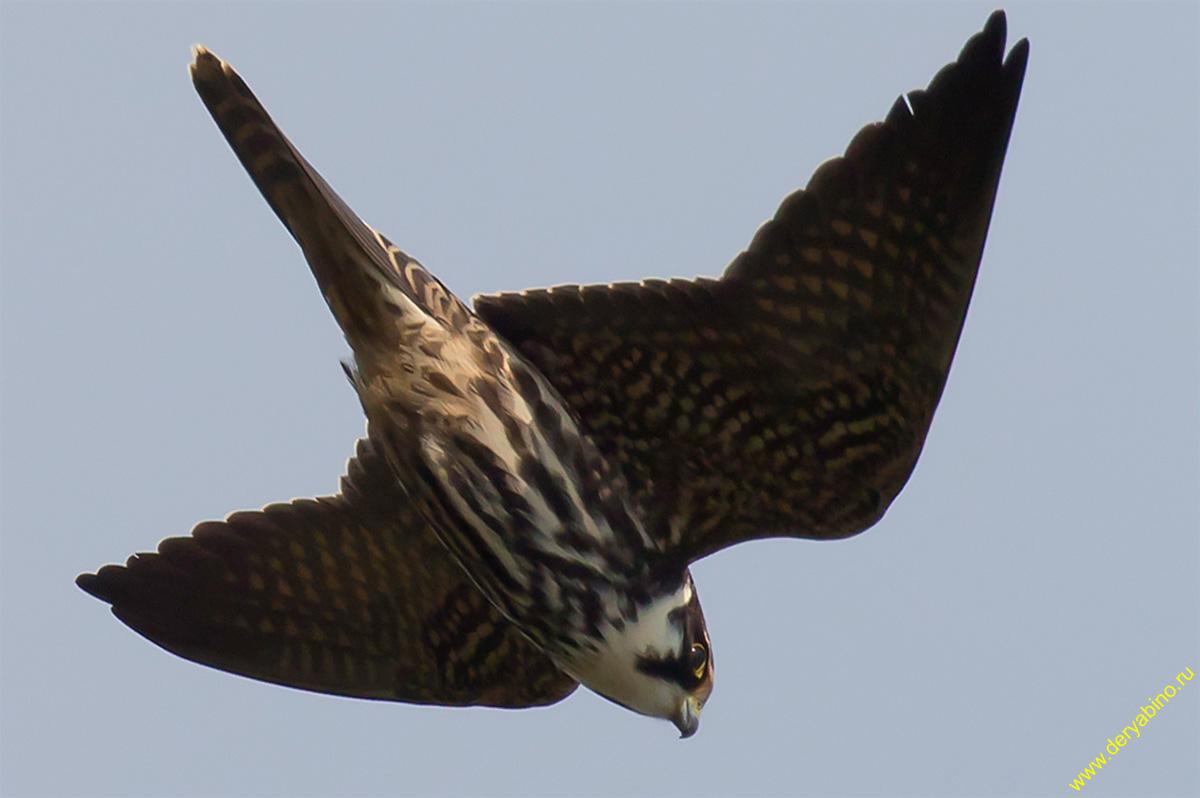 Чеглок Falco subbuteo Eurasian Hobby