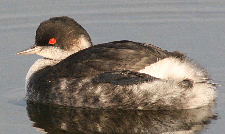 Черношейная поганка Podiceps nigricollis Black-necked Grebe