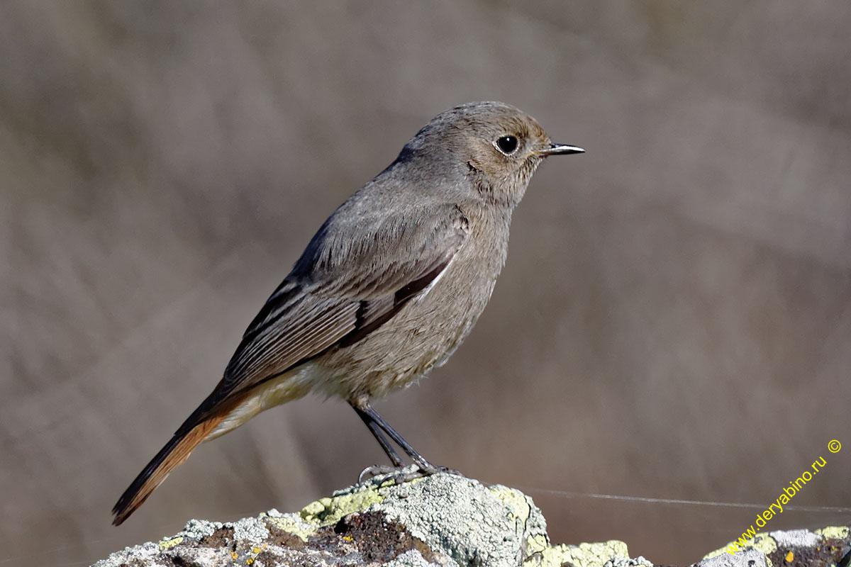 Горихвостка-чернушка Phoenicurus ochruros Black Redstart