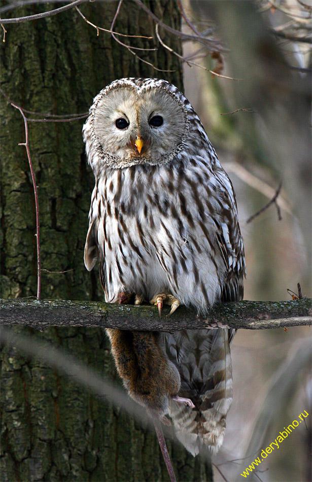 Длиннохвостая неясыть Strix uralensis Ural Owl