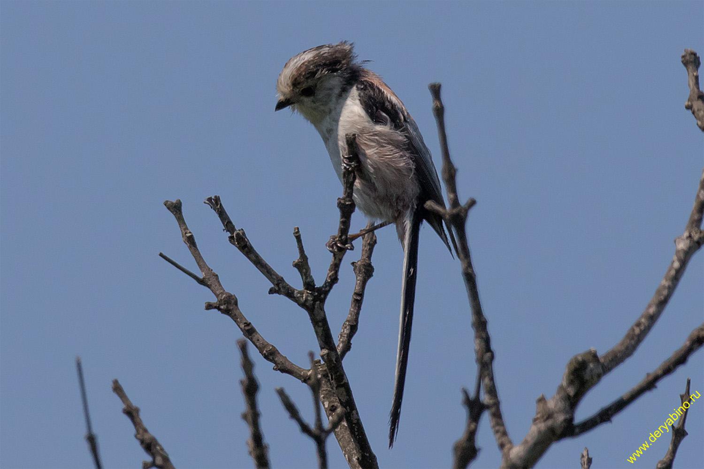 Длиннохвостая синица южноевропейская Aegithalos caudatus (europaeus) Long-tailed Tit