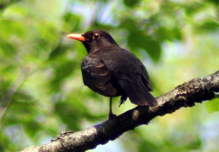 Черный дрозд Turdus merula Eurasian Blackbird