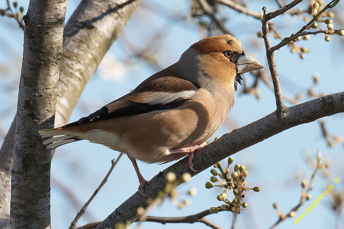 Дубонос Coccothraustes coccothraustes Hawfinch