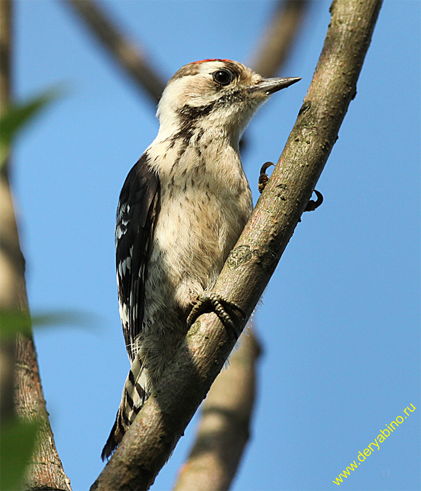 Дятел малый пестрый Dendrocopos minor Lesser Spotted Woodpecker