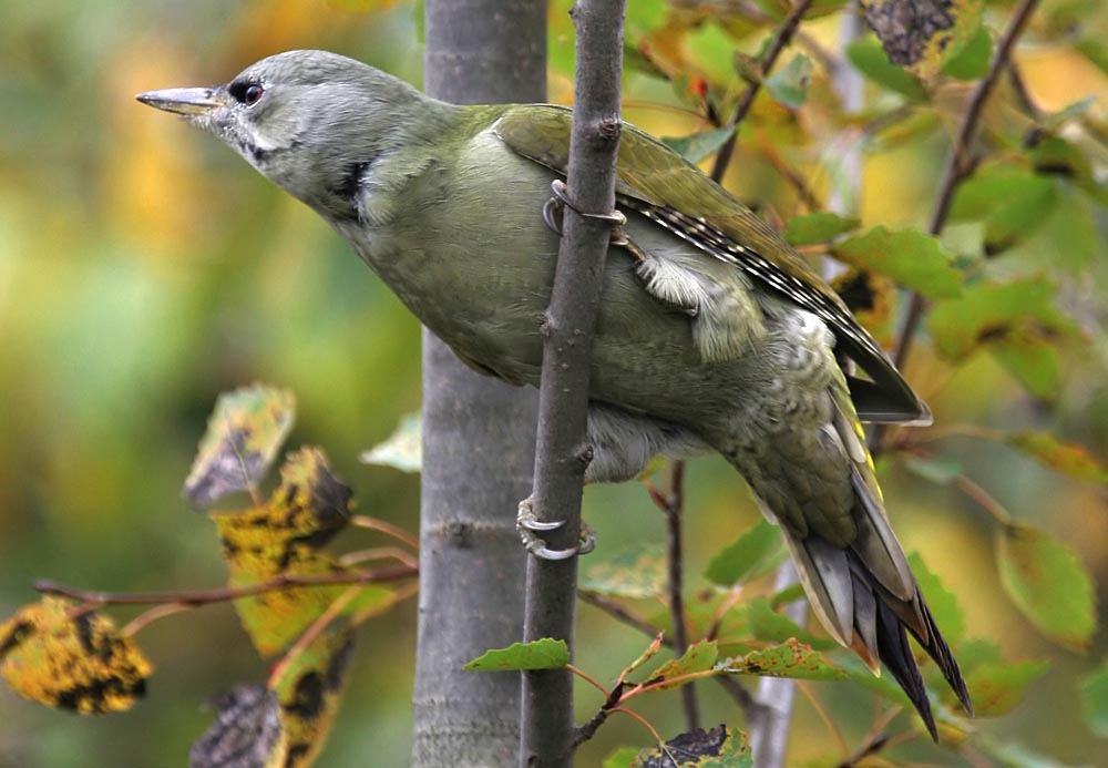 Дятел седой Picus canus Gray-headed Woodpecker