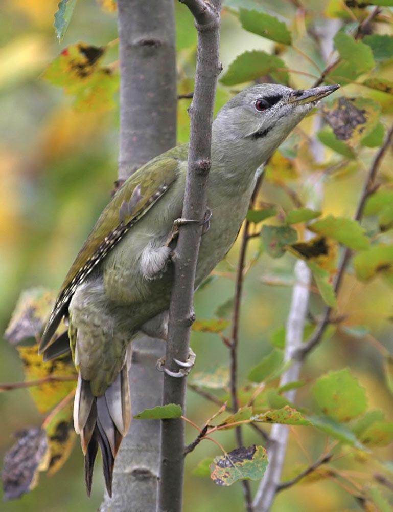 Дятел седой Picus canus Grey-headed Woodpecker