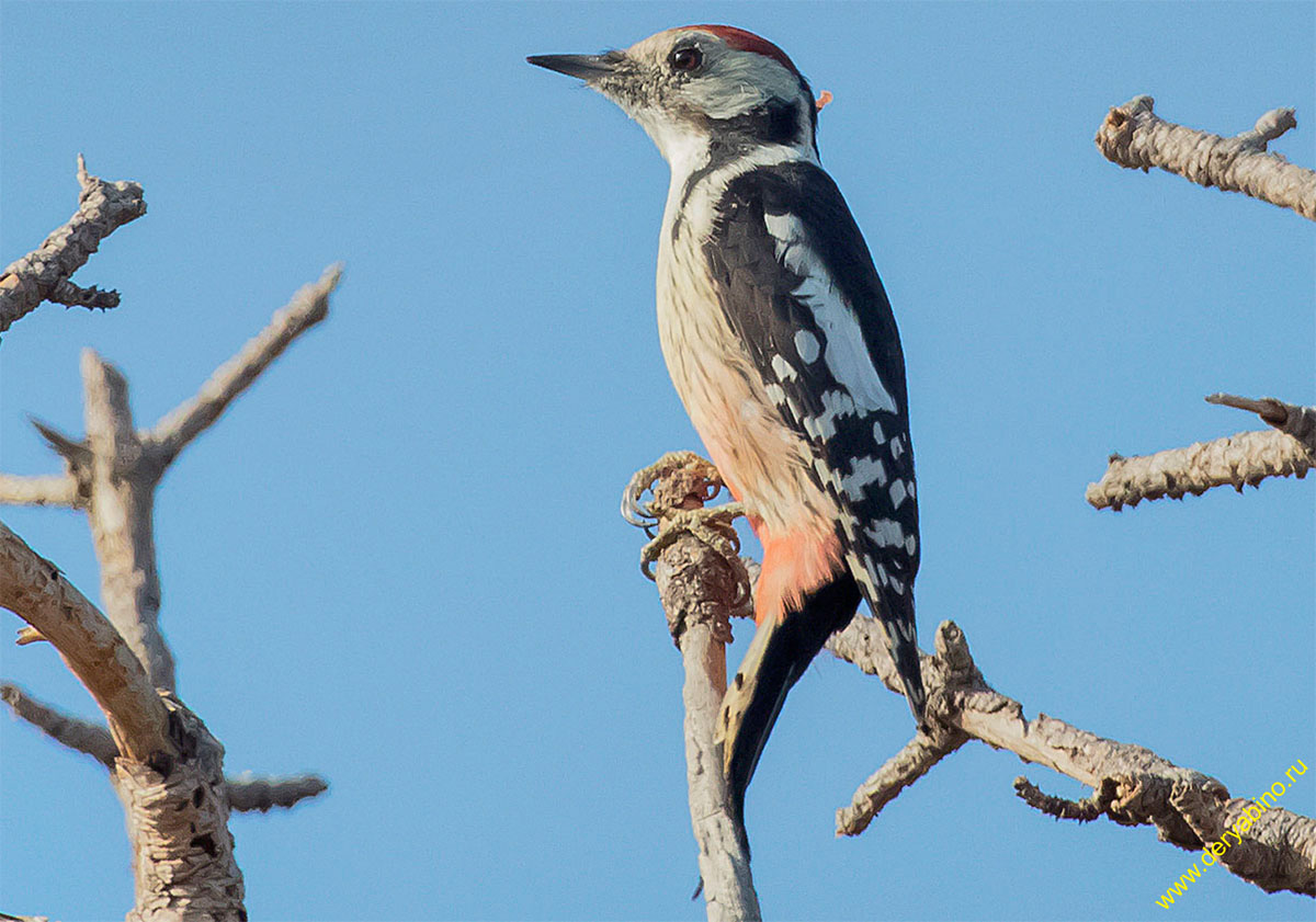 Дятел пестрый средний Dendrocopos medius Middle spotted woodpecker