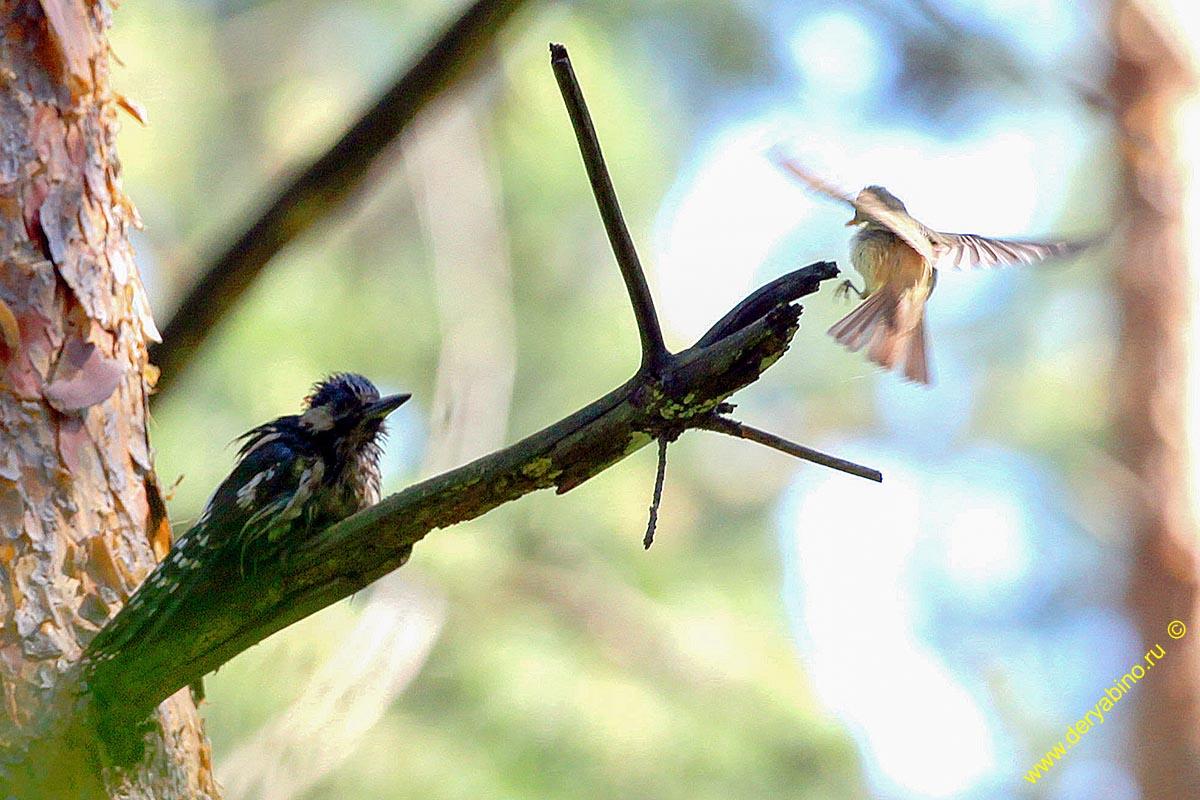 Дятел трёхпалый Picoides tridactylus Eurasian three-toed woodpecker