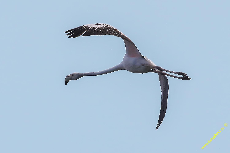 Фламинго Phoenicopterus roseus Greater flamingo