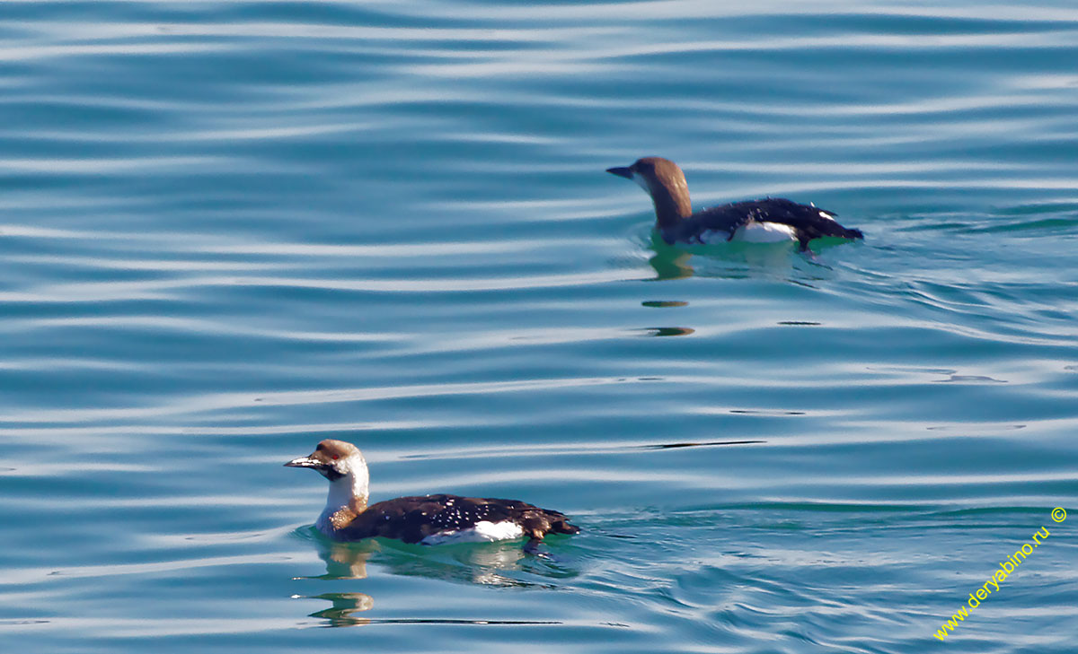Чернозобая гагара Gavia arctica Black-throated Diver