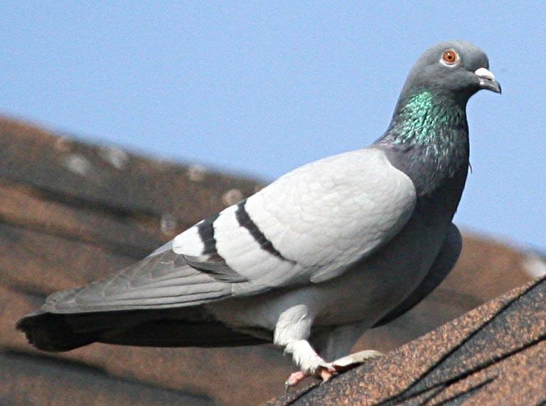 Чешский почтовый голубь фото deryabino ru