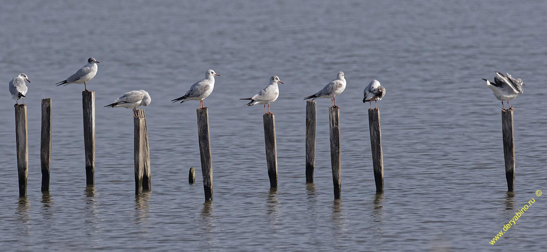 Голубок морской Larus genei Slender-billed gull