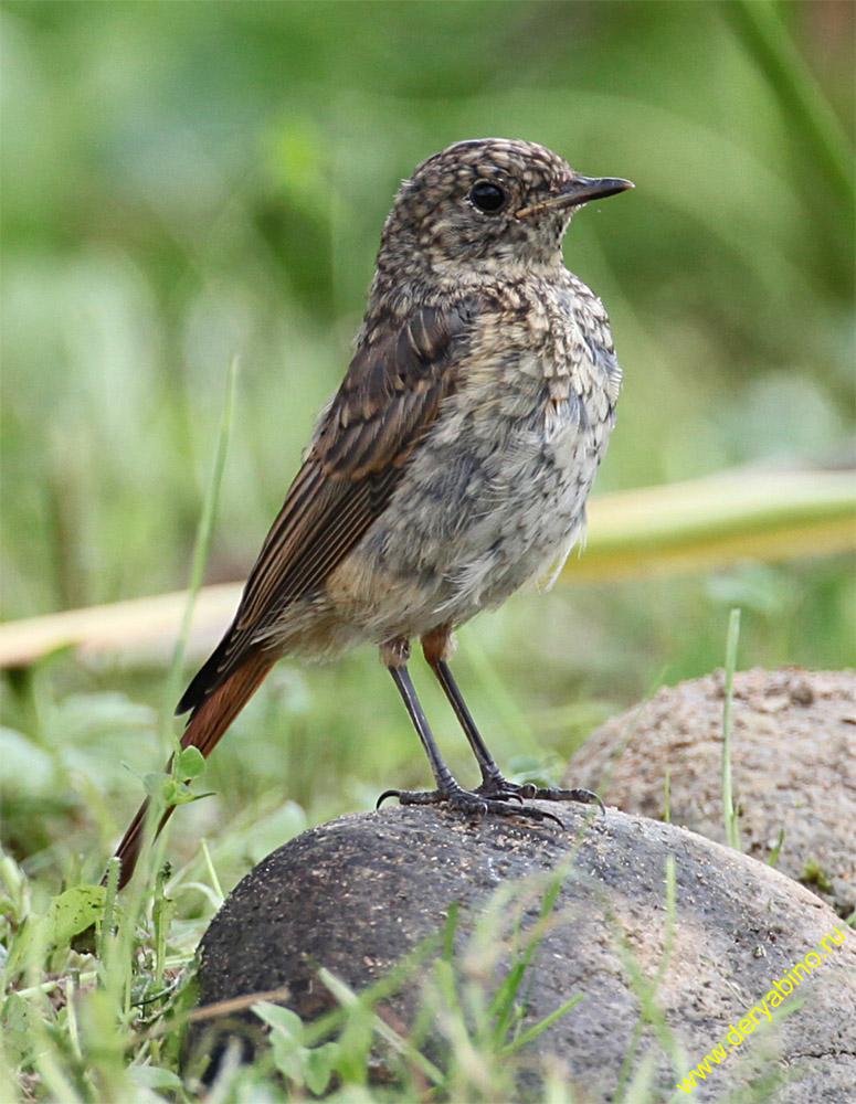 Горихвостка обыкновенная Phoenicurus phoenicurus Common Redstart