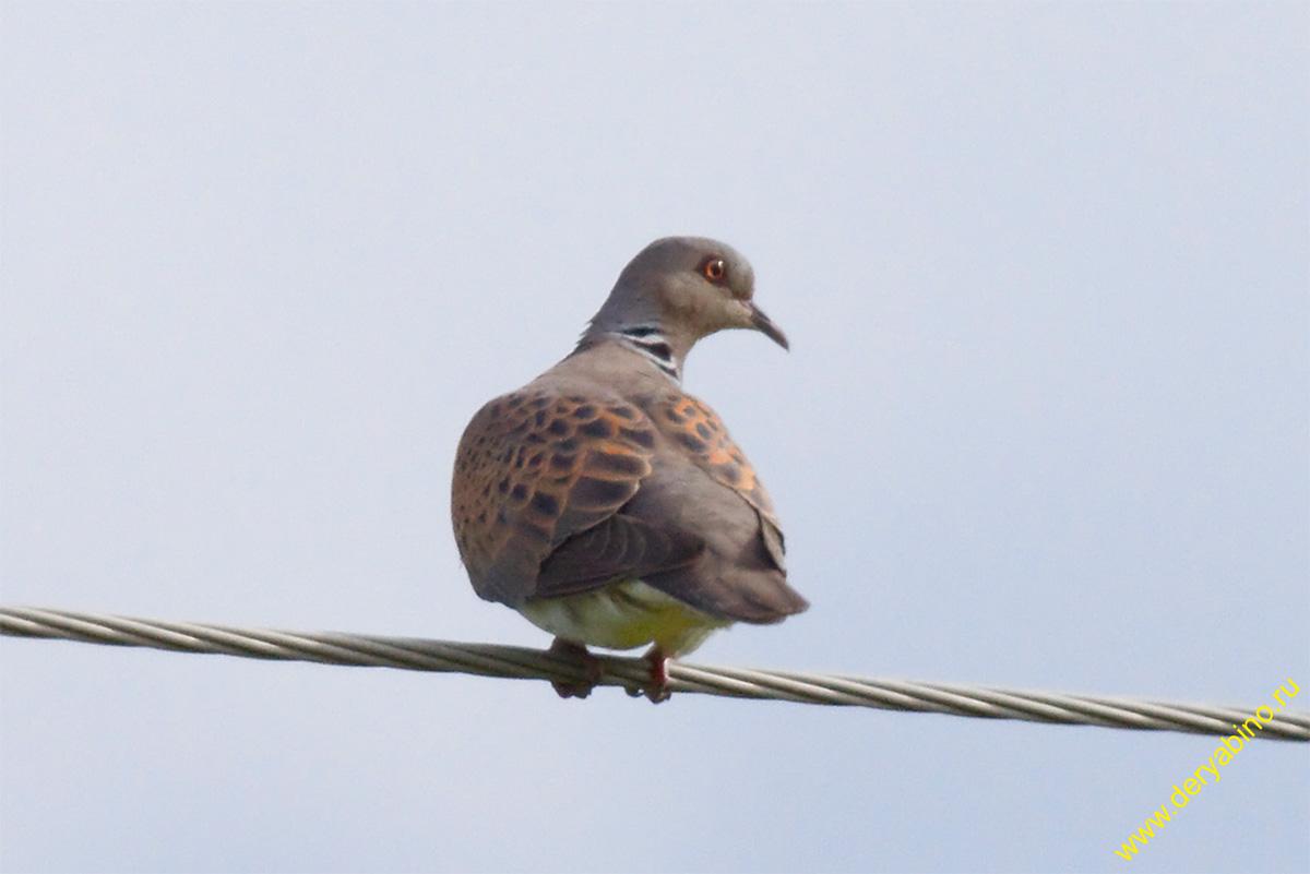 Обыкновенная горлица Streptopelia turtur European turtle dove