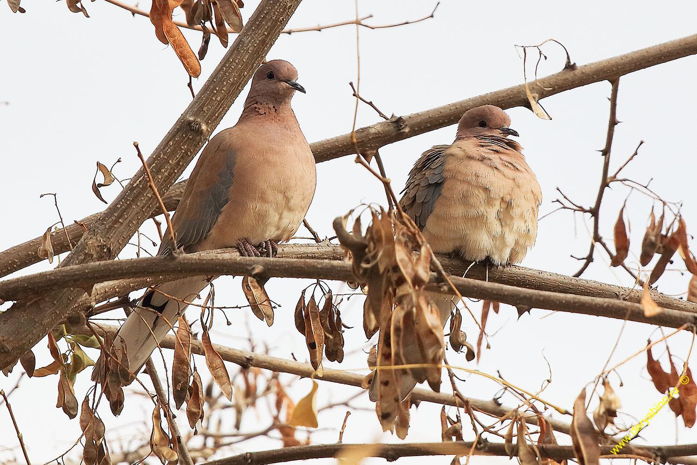 Горлица малая Streptopelia senegalensis Laughing dove