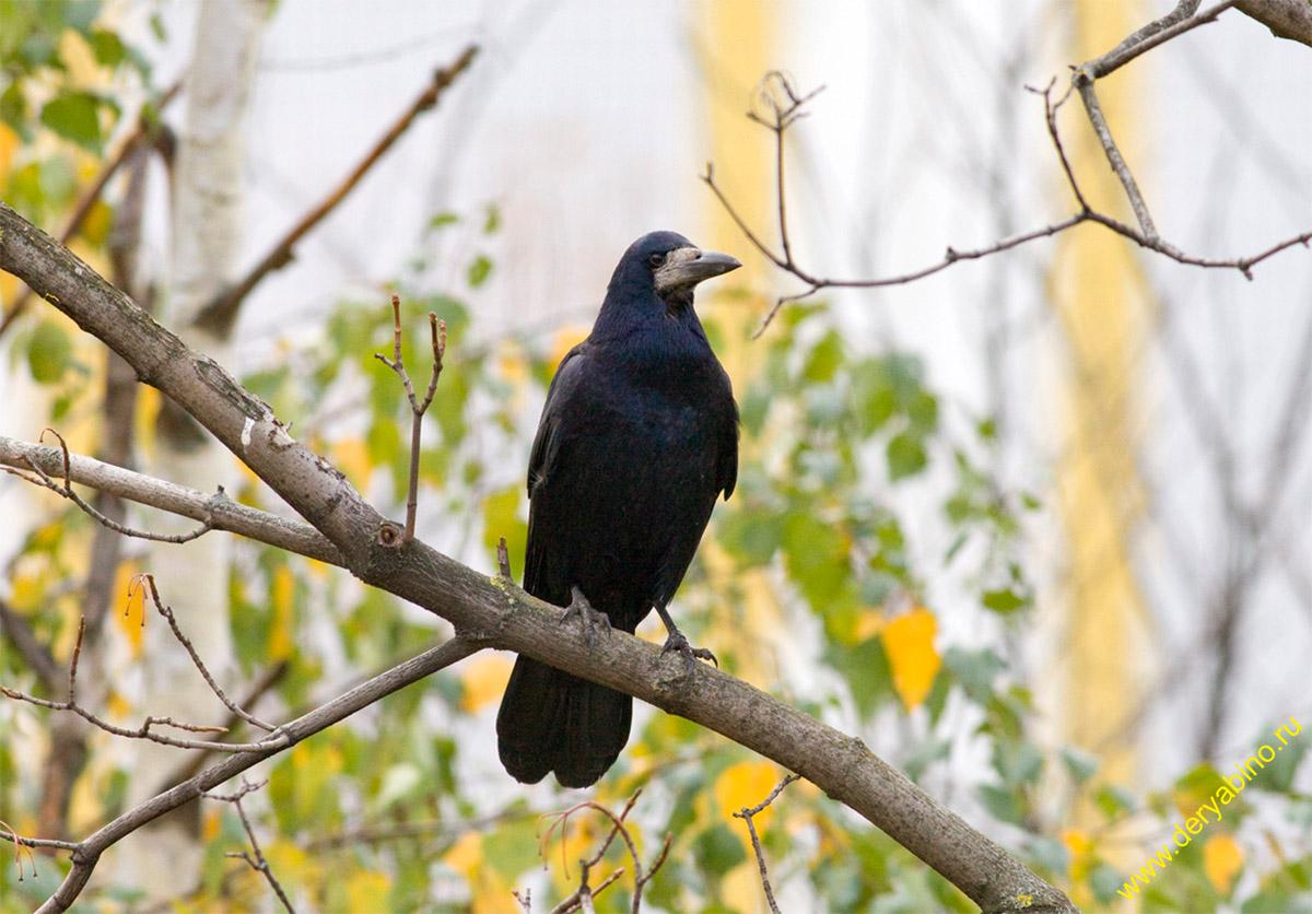 Грач Corvus frugilegus Rook