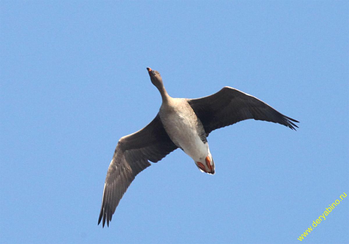 Гуменник Anser fabalis Bean Goose
