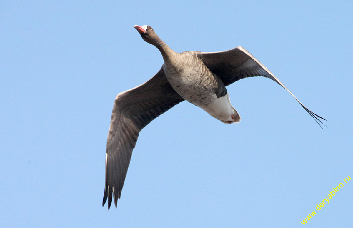 Белолобый гусь anser albifrons white fronted goose