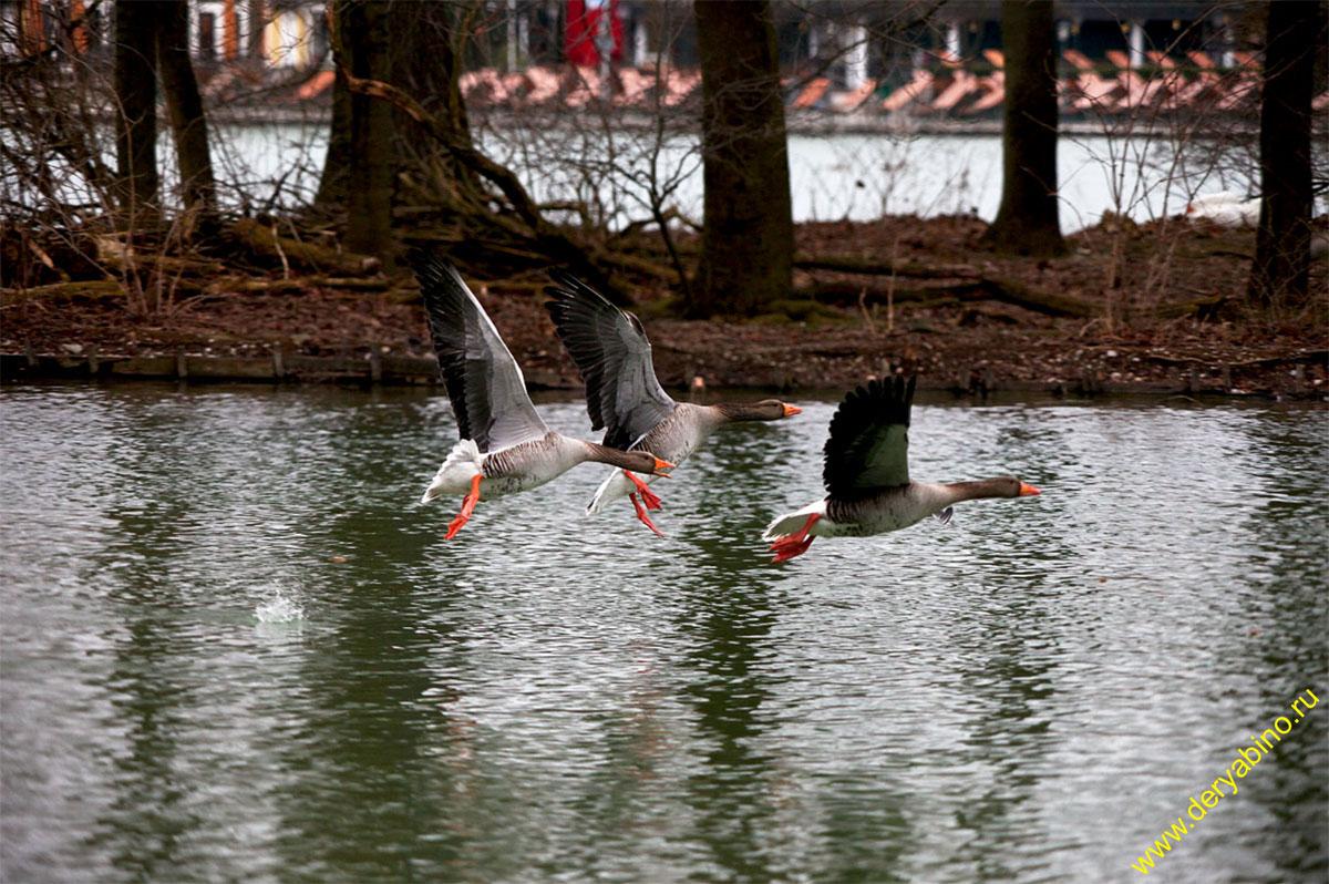 Гусь серый Anser Greylag Goose