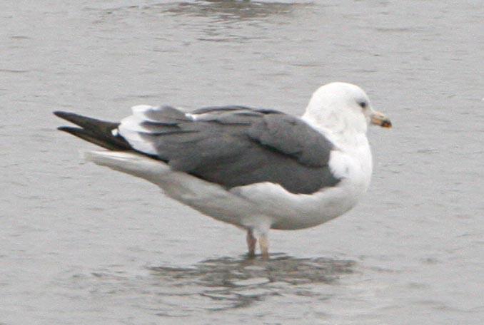 Халей (восточная клуша) Larus heuglini Heuglin's Gull