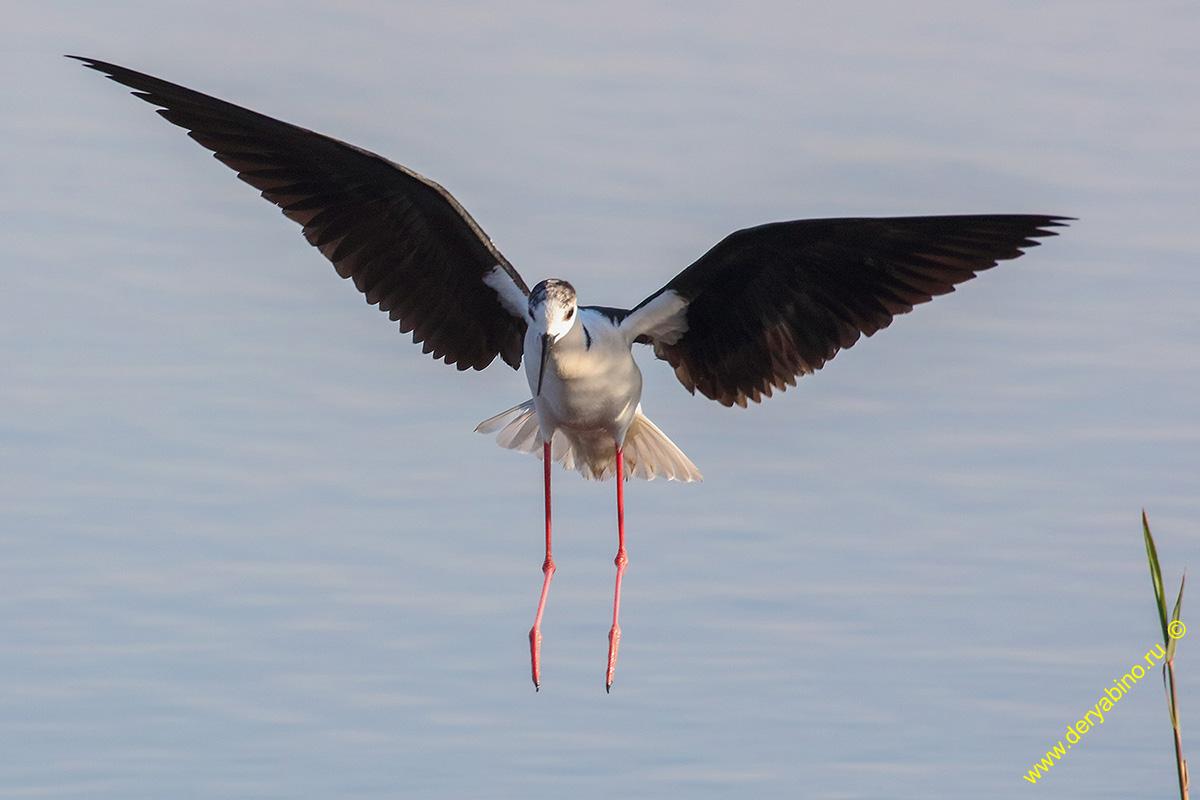 Ходулочник Himantopus himantopus Black-winged stilt