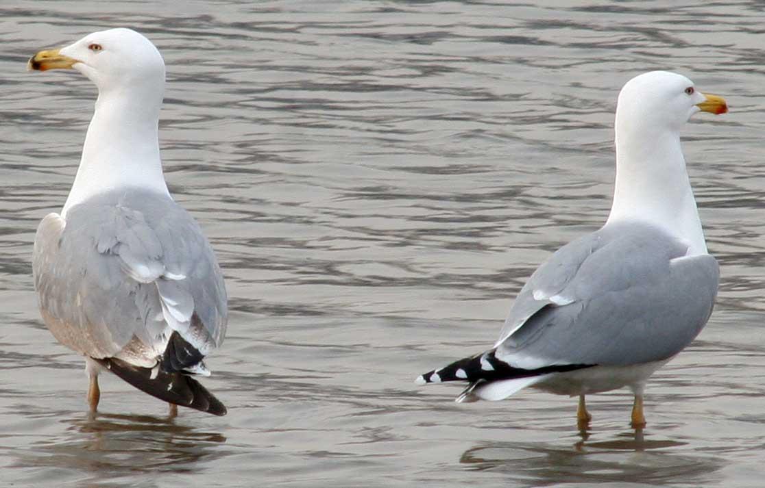 Хохотунья Larus cachinnans Yellow-legged Gull