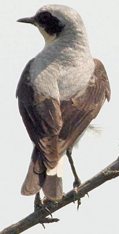 Каменка обыкновенная Oenanthe oenanthe Northern Wheatear