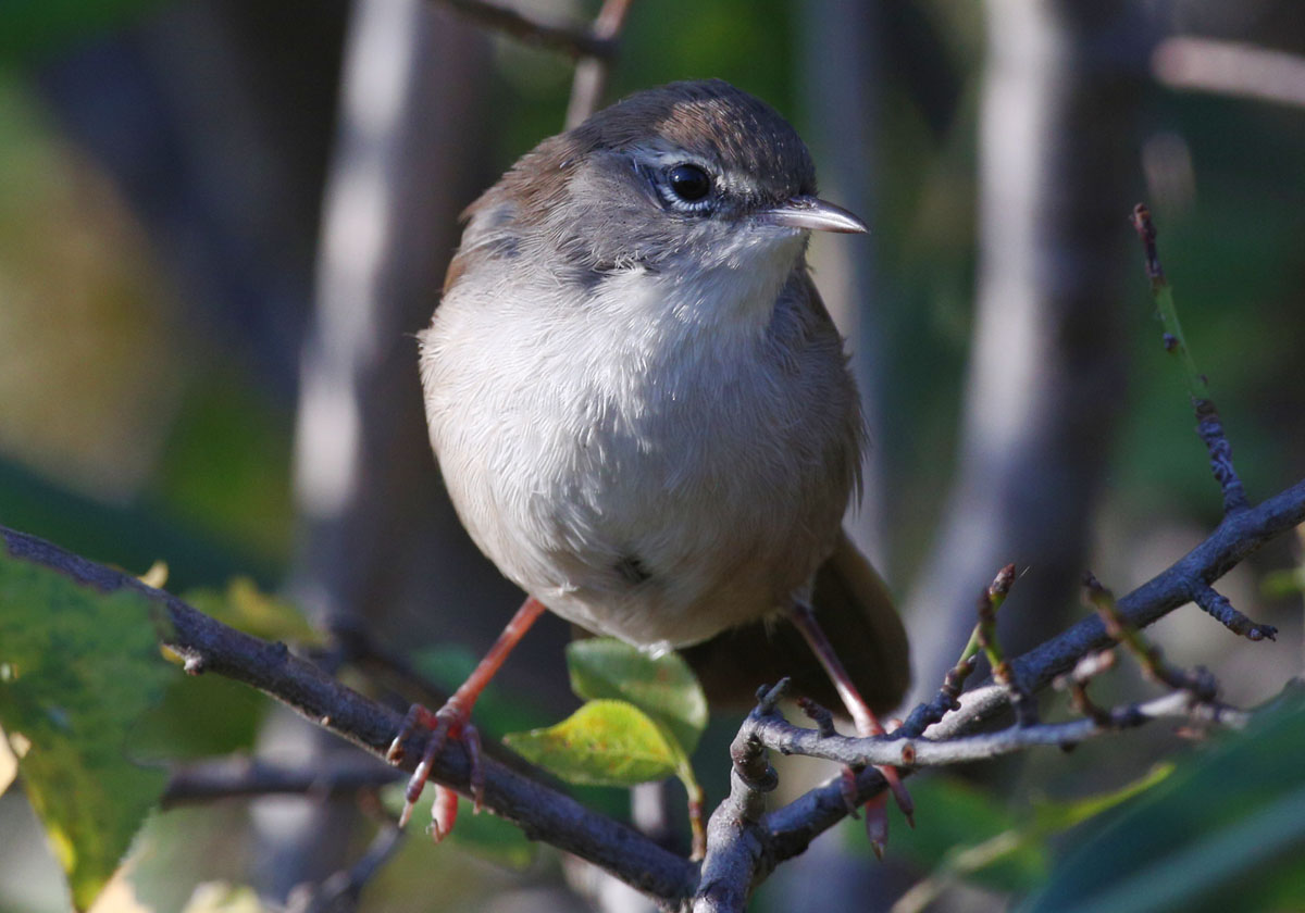 камышовка широкохвостая соловьиная Cettia cetti Cetti's warbler