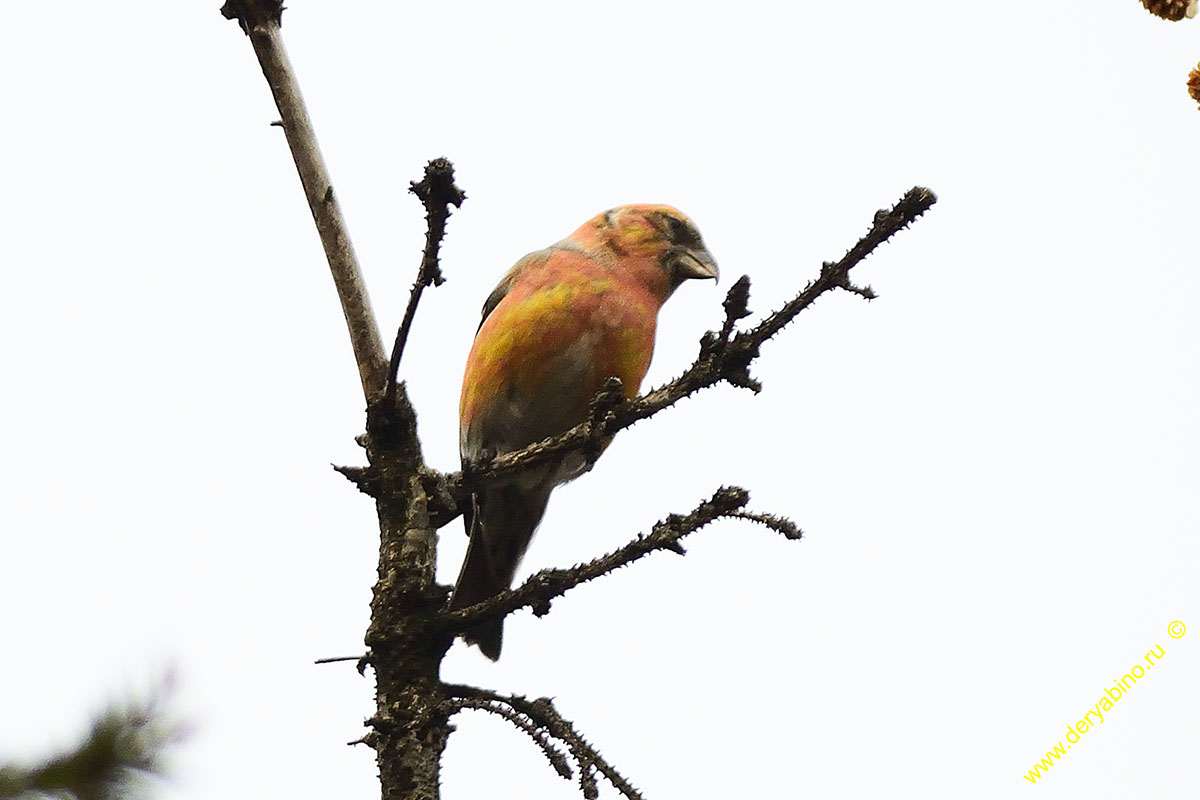 Клест белокрылый Loxia leucoptera Two-barred crossbill