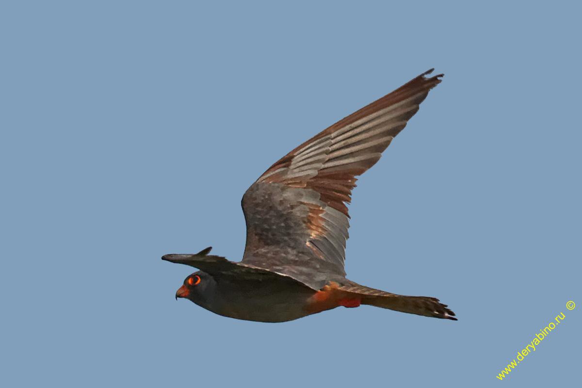 Кобчик Falco columbarius Merlin