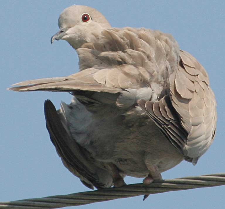 Горлица кольчатая Streptopelia decaocto Eurasian Collared Dove