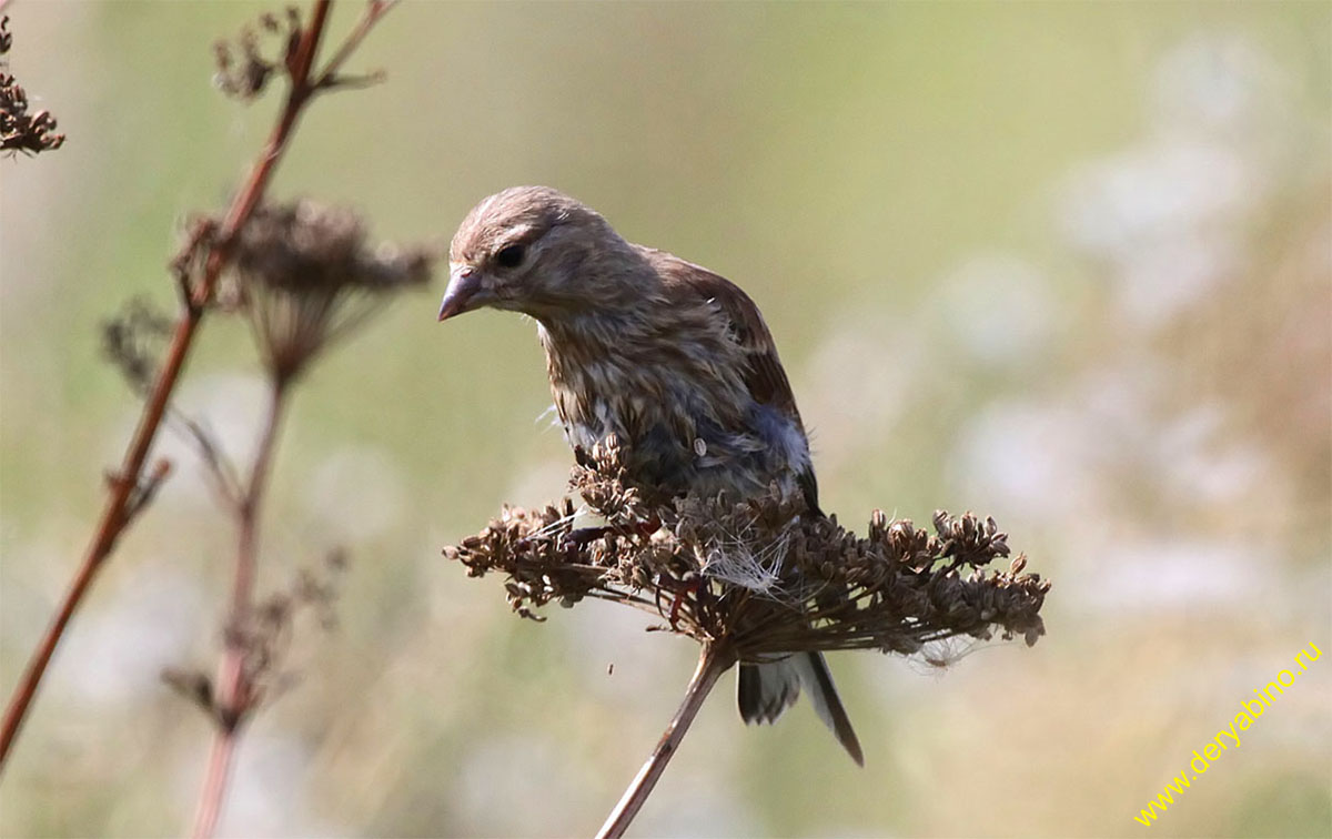 Коноплянка (реполов) Acanthis cannabina Common Linnet