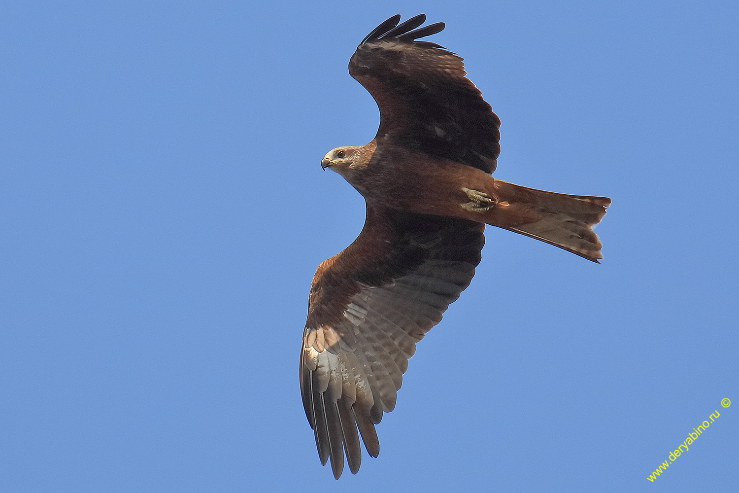 Черный коршун Milvus migrans Black Kite
