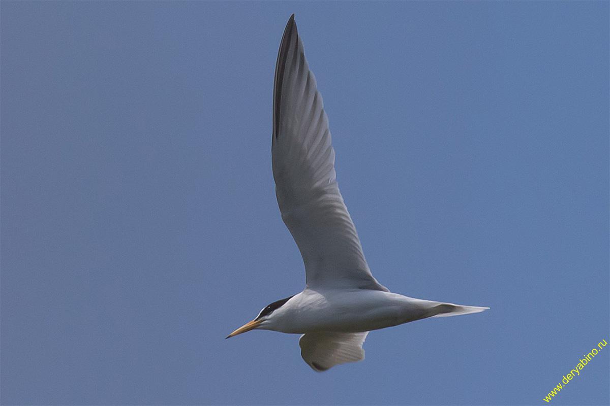 Малая крачка Sterna albifrons Little tern