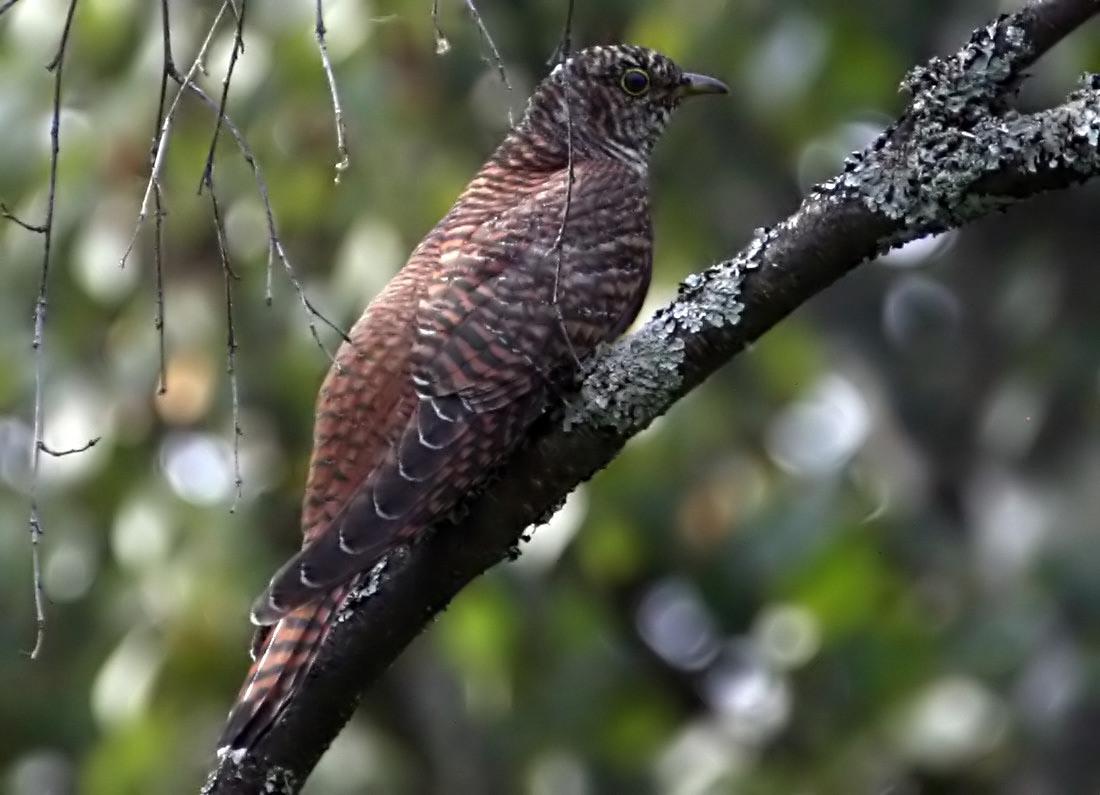 Кукушка обыкновенная Cuculus canorus Common Cuckoo